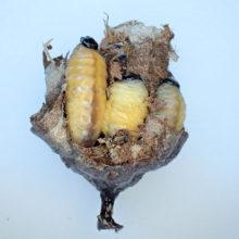 キアシナガバチ幼虫