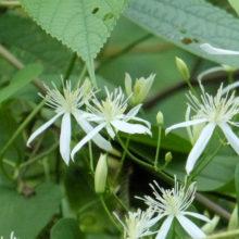 センニンソウ花