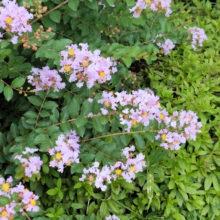 サルスベリ花