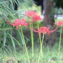 ヒガンバナ花