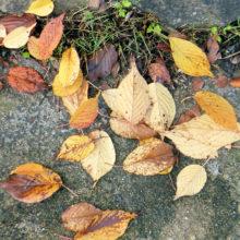 オオシマザクラ落葉