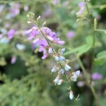 アレチヌスビトハギ花