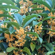 キンモクセイ花