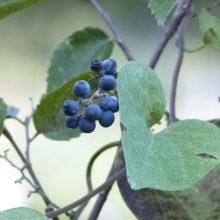 アオツヅラフジ果実