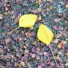 カクレミノ落葉