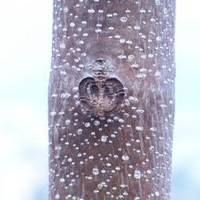 キリの葉痕