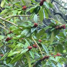 タラヨウ果実