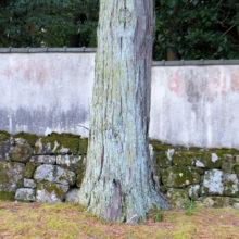ヒノキ樹幹