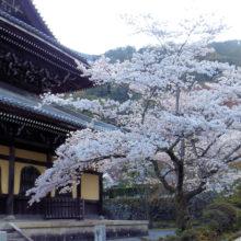 南禅寺のサクラ