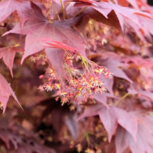 ノムラモミジ花
