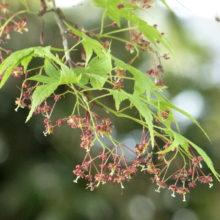 イロハモミジ花