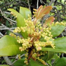 ウバメガシ花