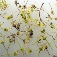 トウカエデ花殻