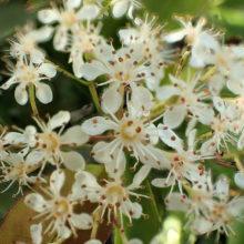 カナメモチ花