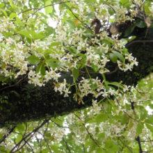 テイカカズラ花