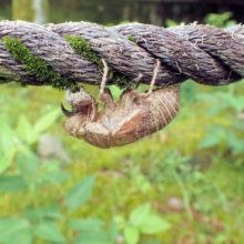 セミ幼虫抜け殻