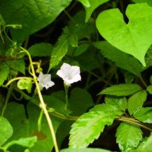 マルバルコウソウ白花