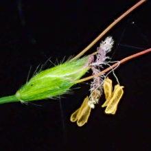 チヂミザサ花