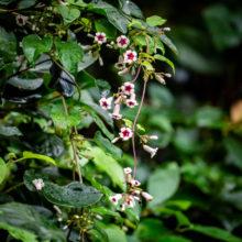 ヘクソカズラ花