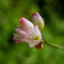 ママコノシリヌグイ花